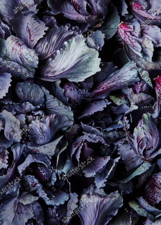 Baby red cabbage leaves.