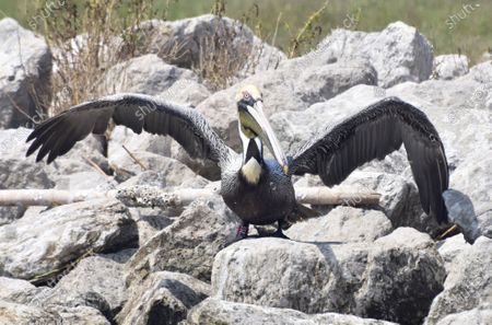 Editorial image of BP Spill Rescued Pelican Returns, Queen Bess Island, United States - 26 Mar 2021