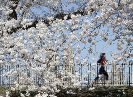 Joggers and pedestrians move along the path surrounding Jacqueline Kennedy Onassis Reservoir surrounded by Cherry Blossom trees that are in bloom in Central Park in New York City on Thursday, April 8, 2021.