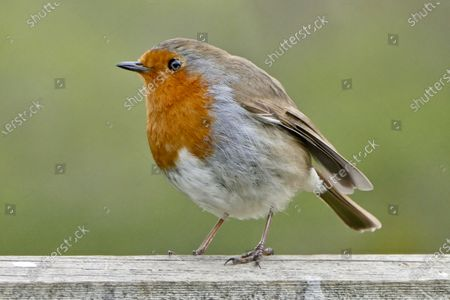 A European robin looks for food on a grey day