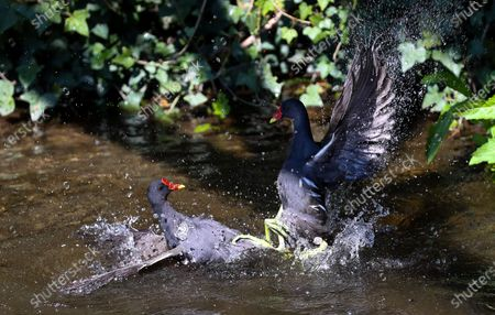 Editorial picture of Moorhens Fighting, UK Wildlife, Duke of Northumberland's River, West London, Twickenham, London, UK - 21 Apr 2021