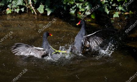 Stock Picture of A pair of adult Moorhens (Gallinula chloropus) battle viciously over territory during the breeding season watched by a mate (not in frame)