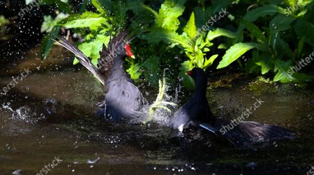 A pair of adult Moorhens (Gallinula chloropus) battle viciously over territory during the breeding season watched by a mate (not in frame)