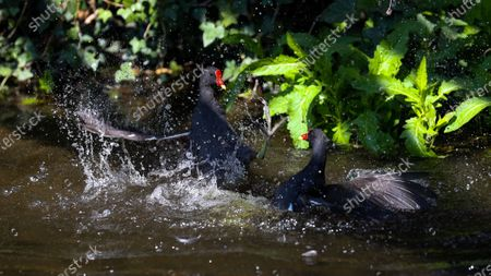 Stock Image of A pair of adult Moorhens (Gallinula chloropus) battle viciously over territory during the breeding season watched by a mate (not in frame)