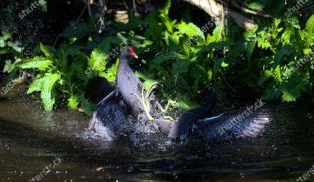 Editorial photo of Moorhens Fighting, UK Wildlife, Duke of Northumberland's River, West London, Twickenham, London, UK - 21 Apr 2021