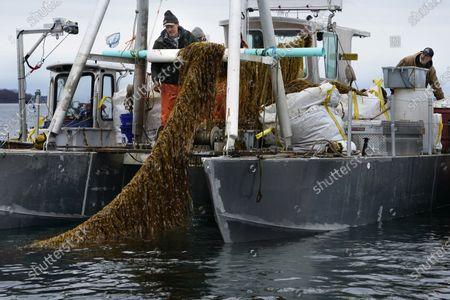 Editorial photo of Seaweed Boom, Cumberland, United States - 29 Apr 2021