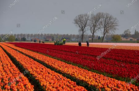 Farmers work in a tulip field in Meerdonk, Belgium on . Most tulips in the region are grown specifically for the bulbs and not the flowers, however the flowers remain in the fields until fully blossomed before being cut down
