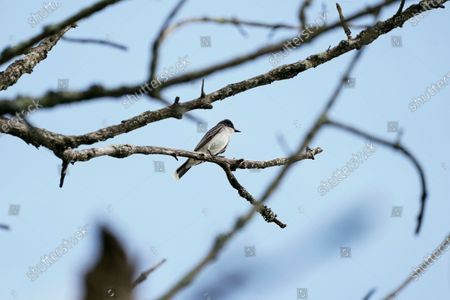 Stock Picture of An eastern kingbird perches on a tree branch along the banks of the Loch Raven Reservoir, in Glen Arm, Md