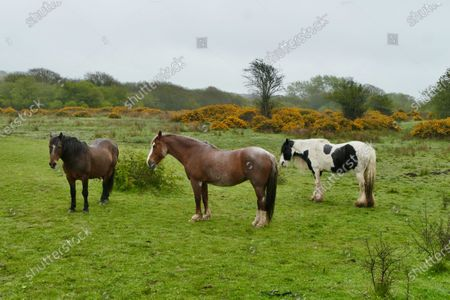 Horses on Corfe Common stand in the rain by the yellow gorse flowers