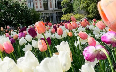 Stock Picture of Tulips bloom in the Botanical Garden in Antwerp, Belgium, . The garden located in the center of the city has a history of more than 200 years, and in the early years it operated as the medical garden of the nearby Saint Elisabeth hospital