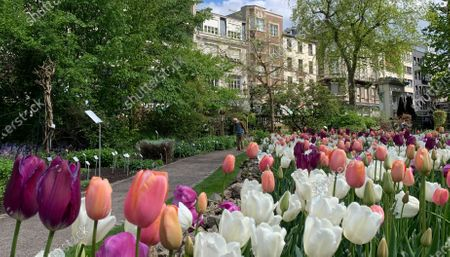 Stock Image of Man walks down a path with tulips in bloom at the Botanical Garden in Antwerp, Belgium, . The garden located in the center of the city has a history of more than 200 years, and in the early years it operated as the medical garden of the nearby Saint Elisabeth hospital