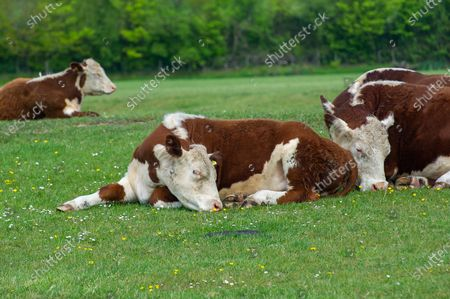 Stock Image of Cattle were resting on Dorney Common this morning in the warm hazy sunshine. Dorney Common has been used for grazing cattle for hundreds of years. The land known as common land whereby commoners are allowed to graze their cattle on the land