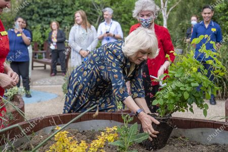 Britain's Camilla, the Duchess of Cornwall helps in the hospital garden, during a visit to the Whittington Hospital, on International Nurses' Day, in London