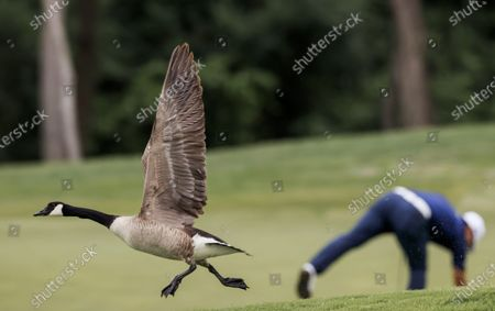 A goose takes flight as Sung Kang of South Korea (R) prepares to putt on the fifteenth green during the second round of the AT&T Byron Nelson golf tournament at TPC Craig Ranch in McKinney, Texas, USA, 14 May 2021. The tournament is being played 13 May through 16 May.