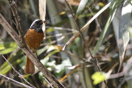 Stock Picture of American Robin bird in the bamboo wood on a sunny and hot early summer day.