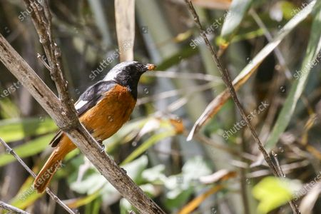 Stock Photo of American Robin bird in the bamboo wood on a sunny and hot early summer day.