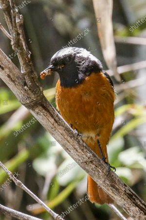 American Robin bird in the bamboo wood on a sunny and hot early summer day.