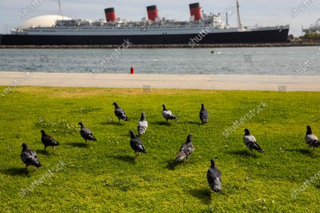 Pigeons in Shoreline Aquatic Park are seen in the foreground, with the Queen Mary ship in the distance, docked in Long Beach, CA, photographed Tuesday, May 25, 2021. The ship has been a tourist destination and hotel for years and is now in danger of capsizing according to a recent inspection report. (Jay L. Clendenin / Los Angeles Times)