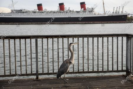 A Great Blue Heron stands on a dock in Shoreline Aquatic Park, with the Queen Mary ship in the background, docked in Long Beach, CA, photographed Tuesday, May 25, 2021. The ship has been a tourist destination and hotel for years and is now in danger of capsizing according to a recent inspection report. (Jay L. Clendenin / Los Angeles Times)