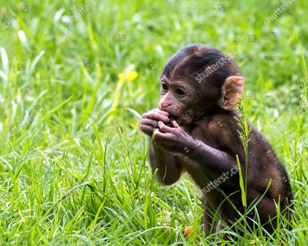 Baby Barbary Macaques born at Trentham Monkey Forest