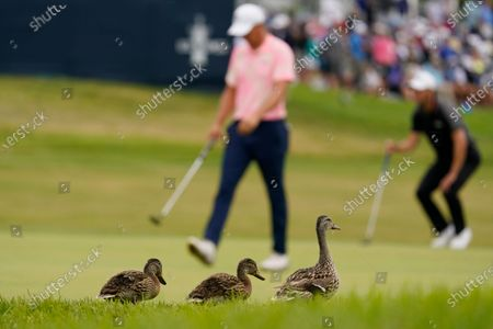 Ducks walk along the 18th green as Jordan Spieth and Martin Kaymer, of Germany, right, prepare to hit during the final round of the U.S. Open Golf Championship, at Torrey Pines Golf Course in San Diego