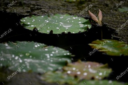 On July 5, 2021, light rain, a lotus pond next to a farmhouse in Dingshi Town, Youyang Tujia and Miao Autonomous County, Chongqing City, the lotus pond is raining down, ripples, the lotus has not yet opened, and the dragonfly is resting on the lotus leaf. The frog sheltered from the rain under the lotus leaf, and the water drops on the lotus leaf condensed into poetry.