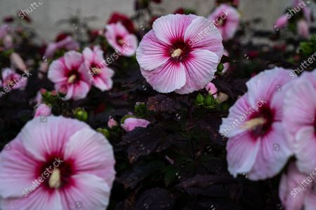 Hibiscus moscheutos, the rose mallow, is seen outside of the Stewart Lee Udall Department of the Interior Building is photographed on Friday, July 16, 2021. (Kent Nishimura / Los Angeles Times)