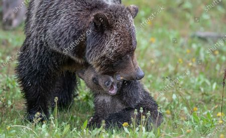 A mischievous bear cub bites its mother's face and cheekily sticks its tongue out while frolicking in the rain.  The wet grizzly bear cub seemed to be enjoying the downpour but would not give its mother a moment's rest.  The photos were taken by Mark Williams in Kananaskis Country, in the western Canadian province of Alberta.