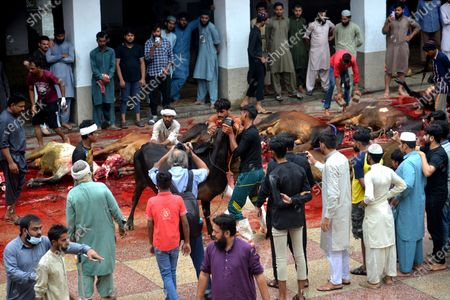 (EDITROS NOTE: Image contains graphic content) Pakistani Muslim devotees slaughtering cows after Eid al-Adha, the Festival of Sacrifice (Qurbani) prayer at Jamia Naeemia Mosque with SOP's in Lahore. Muslims around the world celebrate 'Eid ul-Adha', also known as the Festival of Sacrifice (Qurbani), to mark the Islamic month of Zil Hijjah. Slaughtering sheep, goats, cows and camels to commemorate Prophet Abraham's willingness to sacrifice his son Ismail on God's command.