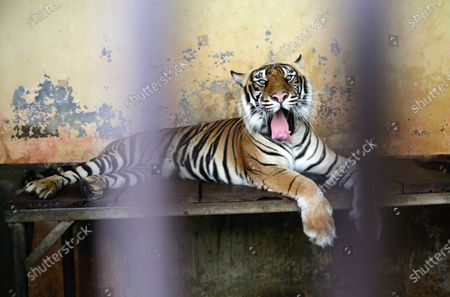A male tiger, Tina rests inside the cage after it get Covid-19 swab test at Ragunan Zoo in Jakarta, Indonesia, 02 August 2021. Two endangered male Sumatran tigers Tino nine-year old and Hari twelve year-old at the Ragunan zoo have tested positive for the coronavirus but are expected to recover and currently receiving treatment and are under close supervision from the Ragunan Zoo medicine team.