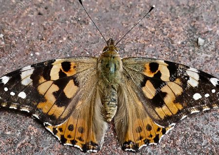 A Painted Lady butterfly (Vanessa cardu) rests on a pavement.