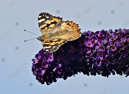 A painted lady butterfly drinks nectar from the black knight buddleia flowers.