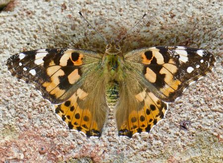 A painted lady butterfly suns itself on a brick wall.