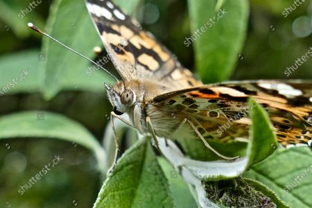A painted lady butterfly rests on the plants in the sunshine.