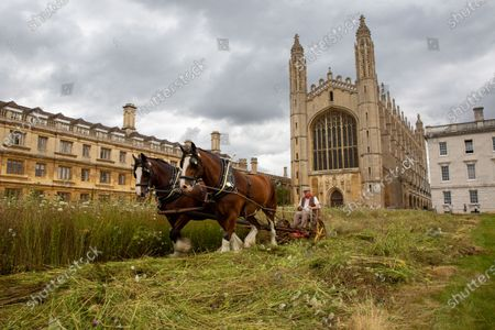 """Shire horses harvesting the wildflower meadow at King's College Cambridge on Monday. The magnificent wildflower meadow at King's College in Cambridge has been traditionally harvested today (Mon) - with the help of two Shire horses.It looked like a scene from a John Constable painting this morning as the two heavy horses helped cut the new meadow, which recently replaced the college's famous neatly-manicured lawn.The horses will turn and cart the hay on a traditional wain later in the week, with the bales being used to create more wildflower meadows across the city of Cambridge.This traditional method of harvesting gives the animals within the meadow time to leave the area, whilst the mowing is an important long-term process to keep fertility low and create space for the wildflowers to regenerate.The involvement of the Shire horses is thanks to an initiative involving the head gardeners of Christ's College and Murray Edwards College. The resultant bales will be offered to other gardeners around the city and within Cambridge University, encouraging others to follow suit and similarly turn their lawns into wildflower meadows.Steven Coghill, head gardener of King's College, said: """"We're absolutely thrilled to be bringing in these magnificent heavy horses to harvest the wildflower meadow. """"Not only do they have a far lower carbon footprint than using a rotary mower, the sight of these wonderful creatures at work in the College should make for a remarkable, bucolic scene and bring a bit of Constable to Cambridge.""""Professor Michael Proctor, Provost of King's College, added: """"The wildflower meadow has inspired us to think more about how we look after and enhance our biodiversity, and has brought to attention just how much has been lost. """"We hope its presence in this iconic setting will motivate others to think about sustainability and to consider planting their own meadows elsewhere."""