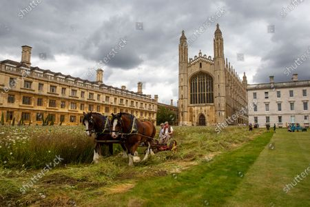 """Stock Photo of Shire horses harvesting the wildflower meadow at King's College Cambridge on Monday. The magnificent wildflower meadow at King's College in Cambridge has been traditionally harvested today (Mon) - with the help of two Shire horses.It looked like a scene from a John Constable painting this morning as the two heavy horses helped cut the new meadow, which recently replaced the college's famous neatly-manicured lawn.The horses will turn and cart the hay on a traditional wain later in the week, with the bales being used to create more wildflower meadows across the city of Cambridge.This traditional method of harvesting gives the animals within the meadow time to leave the area, whilst the mowing is an important long-term process to keep fertility low and create space for the wildflowers to regenerate.The involvement of the Shire horses is thanks to an initiative involving the head gardeners of Christ's College and Murray Edwards College. The resultant bales will be offered to other gardeners around the city and within Cambridge University, encouraging others to follow suit and similarly turn their lawns into wildflower meadows.Steven Coghill, head gardener of King's College, said: """"We're absolutely thrilled to be bringing in these magnificent heavy horses to harvest the wildflower meadow. """"Not only do they have a far lower carbon footprint than using a rotary mower, the sight of these wonderful creatures at work in the College should make for a remarkable, bucolic scene and bring a bit of Constable to Cambridge.""""Professor Michael Proctor, Provost of King's College, added: """"The wildflower meadow has inspired us to think more about how we look after and enhance our biodiversity, and has brought to attention just how much has been lost. """"We hope its presence in this iconic setting will motivate others to think about sustainability and to consider planting their own meadows elsewhere."""