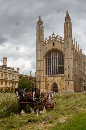 """Stock Image of Shire horses harvesting the wildflower meadow at King's College Cambridge on Monday. The magnificent wildflower meadow at King's College in Cambridge has been traditionally harvested today (Mon) - with the help of two Shire horses.It looked like a scene from a John Constable painting this morning as the two heavy horses helped cut the new meadow, which recently replaced the college's famous neatly-manicured lawn.The horses will turn and cart the hay on a traditional wain later in the week, with the bales being used to create more wildflower meadows across the city of Cambridge.This traditional method of harvesting gives the animals within the meadow time to leave the area, whilst the mowing is an important long-term process to keep fertility low and create space for the wildflowers to regenerate.The involvement of the Shire horses is thanks to an initiative involving the head gardeners of Christ's College and Murray Edwards College. The resultant bales will be offered to other gardeners around the city and within Cambridge University, encouraging others to follow suit and similarly turn their lawns into wildflower meadows.Steven Coghill, head gardener of King's College, said: """"We're absolutely thrilled to be bringing in these magnificent heavy horses to harvest the wildflower meadow. """"Not only do they have a far lower carbon footprint than using a rotary mower, the sight of these wonderful creatures at work in the College should make for a remarkable, bucolic scene and bring a bit of Constable to Cambridge.""""Professor Michael Proctor, Provost of King's College, added: """"The wildflower meadow has inspired us to think more about how we look after and enhance our biodiversity, and has brought to attention just how much has been lost. """"We hope its presence in this iconic setting will motivate others to think about sustainability and to consider planting their own meadows elsewhere."""