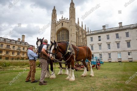 Shire horses harvesting the wildflower meadow at King's College Cambridge on Monday. The magnificent wildflower meadow at King's College in Cambridge has been traditionally harvested today (Mon) Ð with the help of two Shire horses.It looked like a scene from a John Constable painting this morning as the two heavy horses helped cut the new meadow, which recently replaced the college's famous neatly-manicured lawn.The horses will turn and cart the hay on a traditional wain later in the week, with the bales being used to create more wildflower meadows across the city of Cambridge.This traditional method of harvesting gives the animals within the meadow time to leave the area, whilst the mowing is an important long-term process to keep fertility low and create space for the wildflowers to regenerate.The involvement of the Shire horses is thanks to an initiative involving the head gardeners of Christ's College and Murray Edwards College. The resultant bales will be offered to other gardeners around the city and within Cambridge University, encouraging others to follow suit and similarly turn their lawns into wildflower meadows.Steven Coghill, head gardener of King's College, said: 'We're absolutely thrilled to be bringing in these magnificent heavy horses to harvest the wildflower meadow. 'Not only do they have a far lower carbon footprint than using a rotary mower, the sight of these wonderful creatures at work in the College should make for a remarkable, bucolic scene and bring a bit of Constable to Cambridge.'Professor Michael Proctor, Provost of King's College, added: 'The wildflower meadow has inspired us to think more about how we look after and enhance our biodiversity, and has brought to attention just how much has been lost. 'We hope its presence in this iconic setting will motivate others to think about sustainability and to consider planting their own meadows elsewhere.
