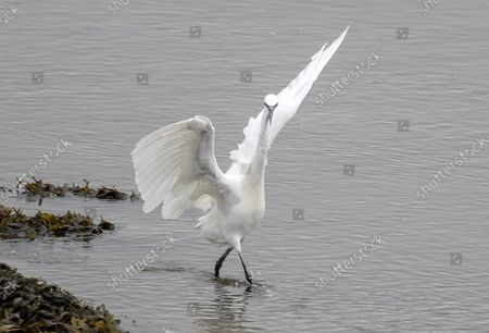 """Saturday Night Fever! An egret is caught in a pose resembling that of John Travolta in the film Saturday Night Fever.The egret was spotted on the edge of the River Eden, on a shallow part that flows from the sea estuary close to the the town of Guardbridge in Fife, Scotland. It's white plumage and positioning of wings looked identical to that of the movie star in his 1970's white disco suit.Glenrothes-based retiree-turned-wildlife photographer Kenneth O'Keefe, 62, said, """"I spent about five hours watching and photographing the wildlife in this area that morning. As I was watching the comings and goings of the wildlife I spotted the little egret making its way up the river and continually striking under the water to catch food. As I was keeping an eye on it through my camera it suddenly gave it's wings a flap and I took the photo.""""""""On reviewing the image on my camera I immediately thought of it resembling John Travolta strutting his stuff in his white suit in the film Saturday Night Fever and the lines Òwell you can tell by the way I use my walk IÕm a womanÕs man no time to talkÓ from the song ÒStayinÕ AliveÓ began playing in my head so I made the link immediately.""""""""I find it an amusing photo and IÕve had people tell me theyÕve burst out laughing looking at it. It's hard to tell which one had the better moves though!""""Please byline: Kenneth O'Keefe/Solent News© Kenneth O'Keefe/Solent News & Photo AgencyUK +44 (0) 2380 458800"""