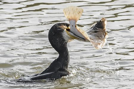 Stock Photo of A cormorant grapples with a large flatfish as it struggles to devour it.  After just one dive, the large water bird, which mainly eats fish and eels, caught the flounder in its beak.  But after a short grapple, the creature decided its eyes were in fact too big for its stomach and released its prey back into the River Eden near the town of Guardbridge in Fife, Scotland.  After this encounter, it then continued its journey downstream while continually diving to seek out food.