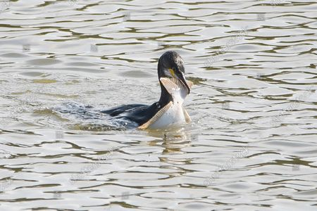 Editorial picture of A cormorant grapples with a large flatfish as it struggles to devour it, Guardbridge, Fife, Scotland, UK - 23 Sep 2021