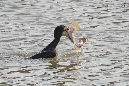Editorial photo of A cormorant grapples with a large flatfish as it struggles to devour it, Guardbridge, Fife, Scotland, UK - 23 Sep 2021