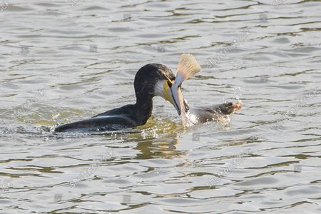A cormorant grapples with a large flatfish as it struggles to devour it.  After just one dive, the large water bird, which mainly eats fish and eels, caught the flounder in its beak.  But after a short grapple, the creature decided its eyes were in fact too big for its stomach and released its prey back into the River Eden near the town of Guardbridge in Fife, Scotland.  After this encounter, it then continued its journey downstream while continually diving to seek out food.