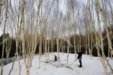 Editorial photo of Cleaning of the Silver Birch trees at Anglesey Abbey, Cambridgeshire, Britain - 30 Nov 2010