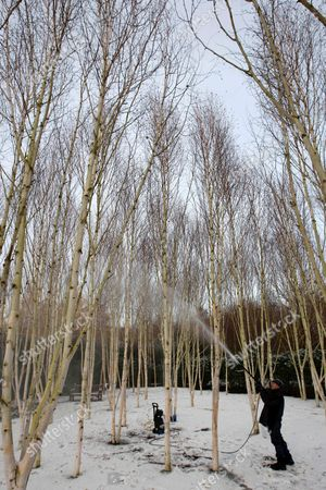 Editorial image of Cleaning of the Silver Birch trees at Anglesey Abbey, Cambridgeshire, Britain - 30 Nov 2010