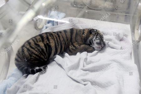 Newborn South China Tiger cub Niu Niu in an incubator
