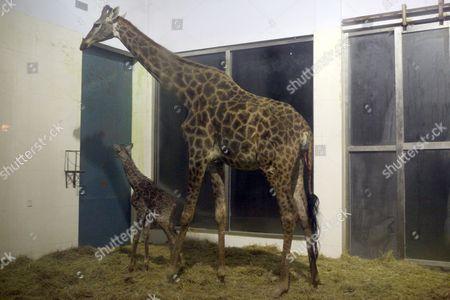 Giraffe Niu Niu with her 11-day-old daughter