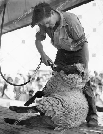 Shepherd Max Baker Shearing A Sheep In A Contest At The Windsor Show.