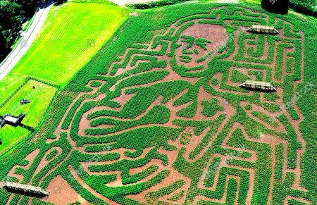 Stock Image of Rugby player Tom Shanklin maize maze . Heatherton Country Sports Park, Tenby, Pembrokeshire, Wales.