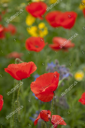 Poppies growing in the Mediterranean Area, Eden Project, Cornwall, Britain